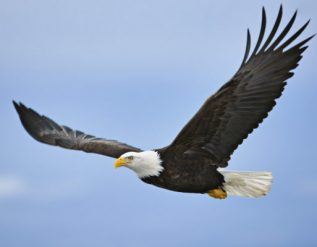missouri-wildlife-officials-say-someone-shot-bald-eagle