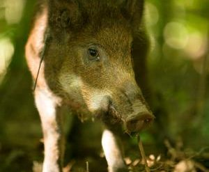 plan-to-use-feral-hogs-as-food-halted-amid-safety-concerns