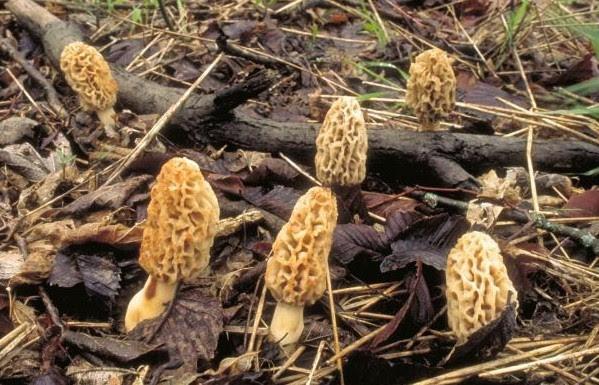 mdc-plans-to-hold-mushroom-webcast
