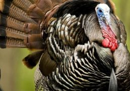 mdc-shows-statewide-decline-in-spring-turkey-harvest-numbers