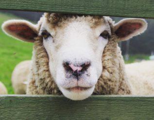 gilman-city-fair-holds-first-animal-shows